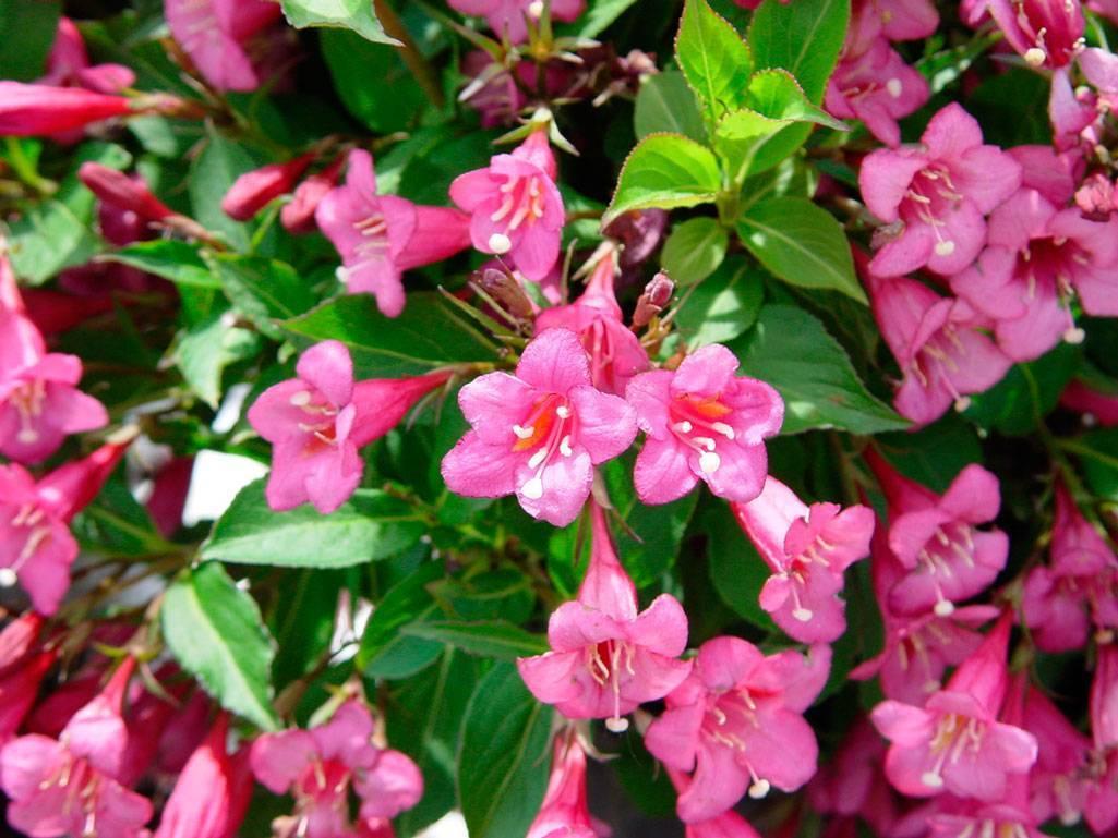 Вейгела цветущая: уход и посадка в открытый грунт, размножение кустарника и советы цветоводам