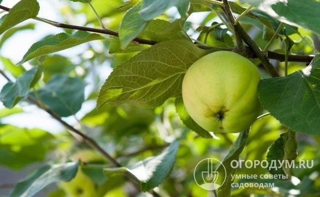"""Яблоня """"чудное"""": описание сорта, фото, отзывы"""