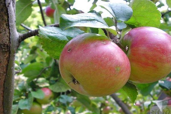 Яблоня приземленное: описание и основные характеристики сорта