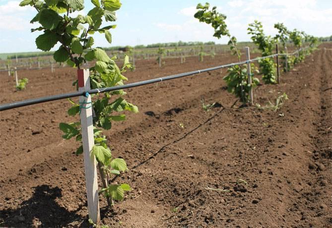 Возможно ли выращивание фундука в средней полосе россии и в подмосковье? особенности посадки и ухода