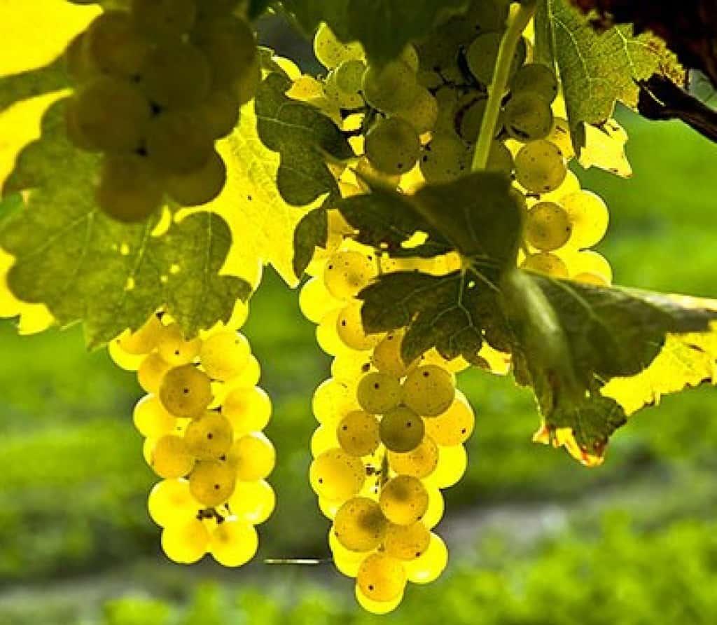 Описание и особенности винограда сорта белое чудо
