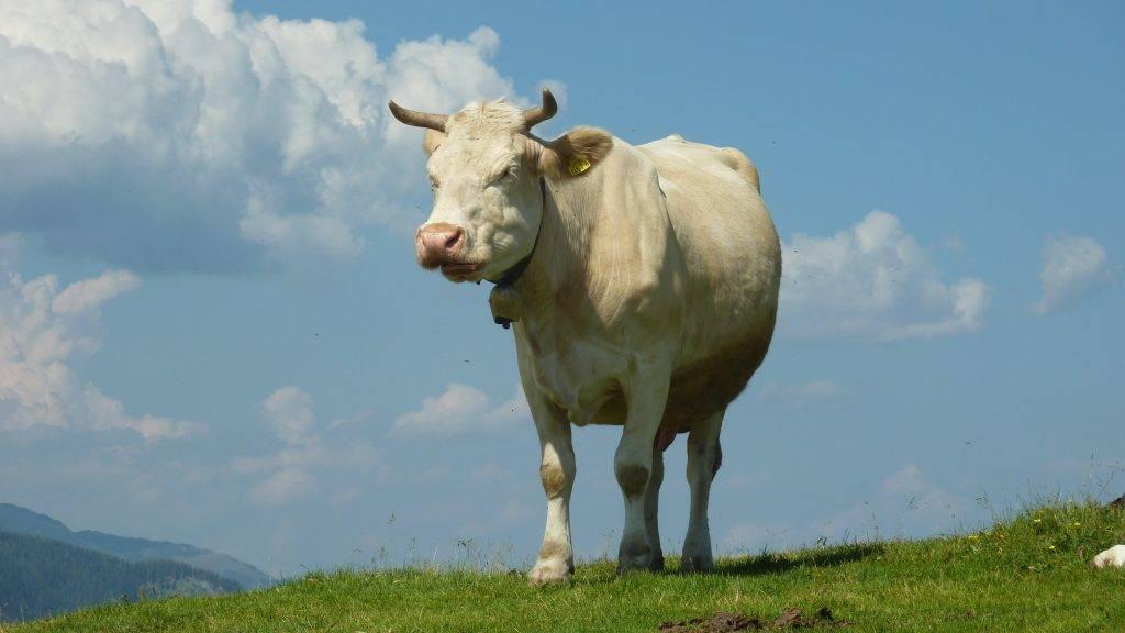 Как узнать сколько весит корова без взвешивания
