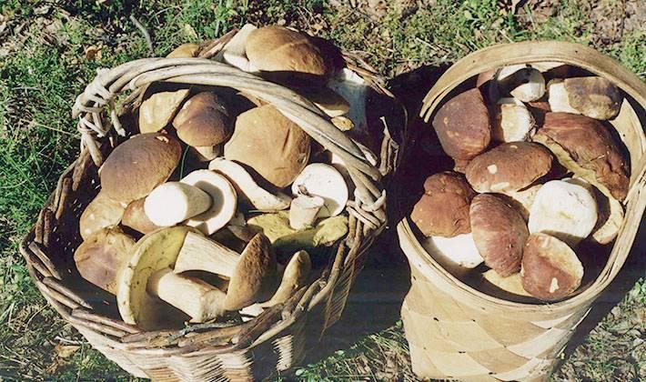 Как чистить белые грибы: особенности, правила и полезные советы (+16 фото)