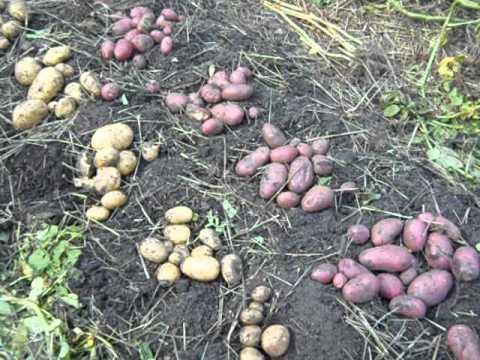 Картошка свитанок киевский в каких областях рф выращивают