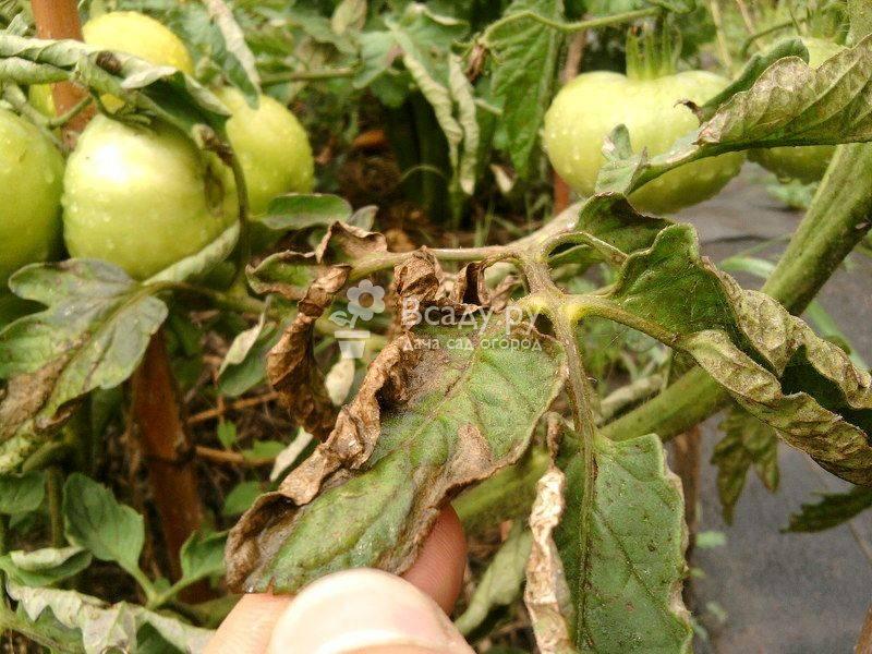 Народные средства от фитофторы на томатах