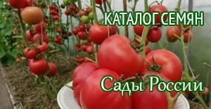 Сорт томата московский деликатес