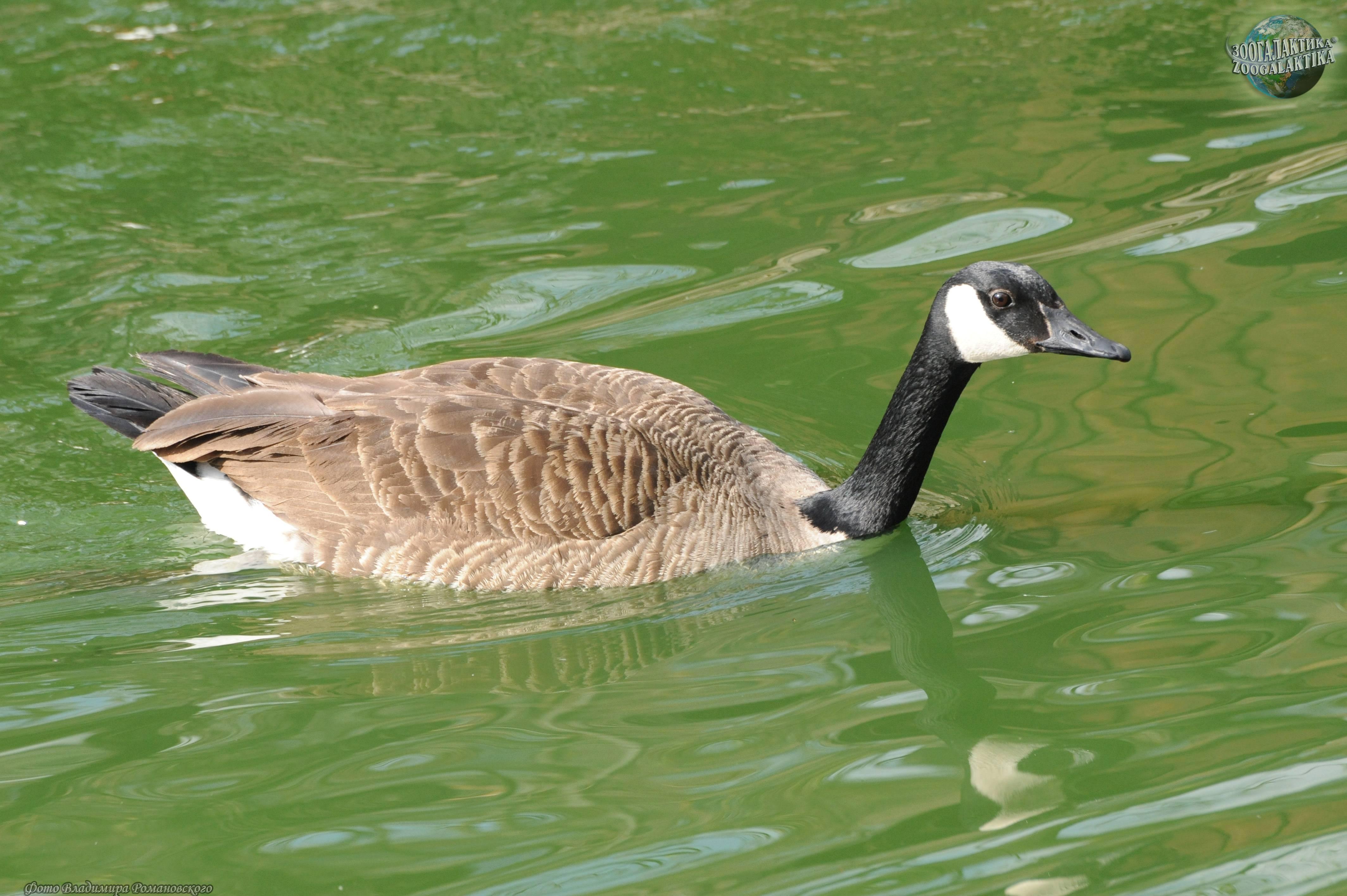 Канадский гусь: водоплавающая птица из семейства утиных
