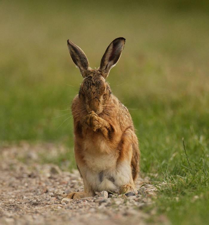 Заяц русак и заяц беляк: описание, распространение, сходство и отличие
