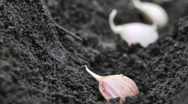 Секреты выращивания крупного чеснока на даче