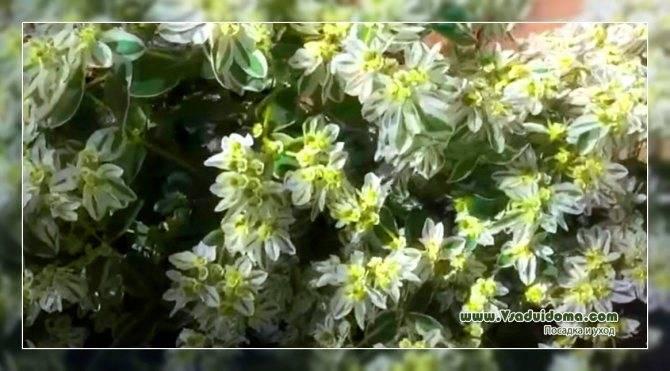 Обриета многолетняя: фото, посадка и уход, особенности выращивания в открытом грунте - sadovnikam.ru