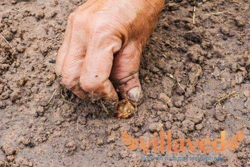Посадка лука весной в открытый грунт – когда и как сажать правильно