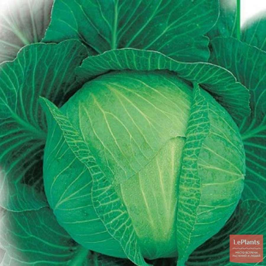 Капуста белоснежка: описание сорта, характеристика вкусовых качеств, отзывы урожайности, фото кочанов