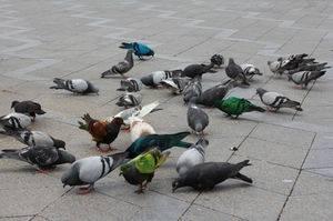 Чем кормить птенца голубя в домашних условиях: описание