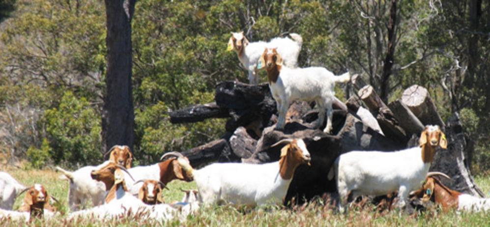 Нубийские козы (49 фото): описание козлят англо-нубийской породы. сколько они дают молока? отзывы владельцев