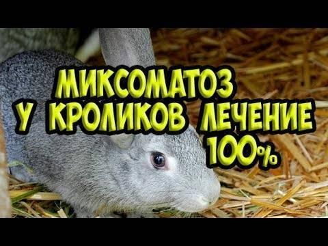 Миксоматоз у кроликов: лечение и профилактика в домашних условиях