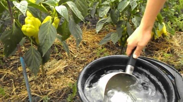 Подкормка рассады томатов и перцев с помощью дрожжей