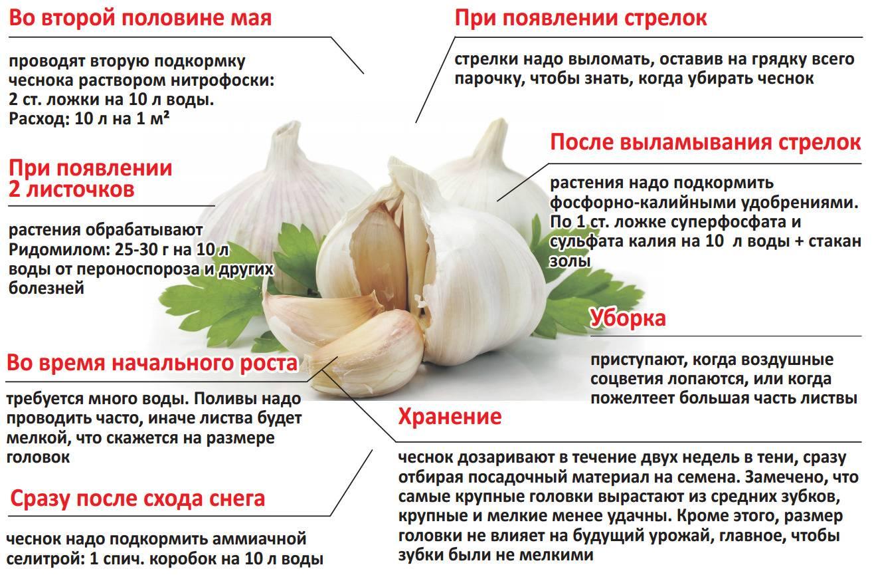 Чем подкормить чеснок весной для хорошего урожая: 10 секретов!