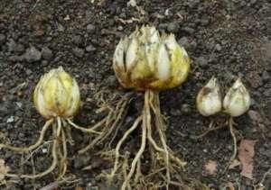 Как хранить луковицы лилии зимой и не только?