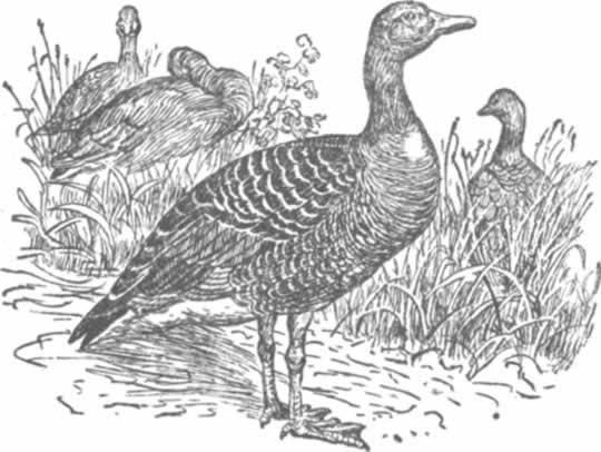 Общая характеристика и виды черных гусей (казарки)