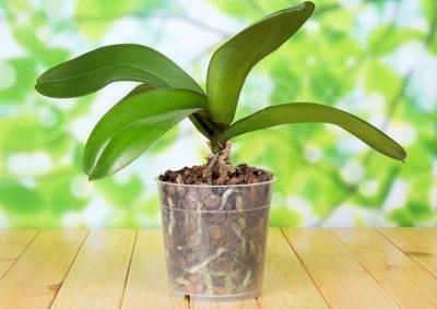 Причины почему у орхидеи вянут цветы и бутоны проблемы цветения материал природный