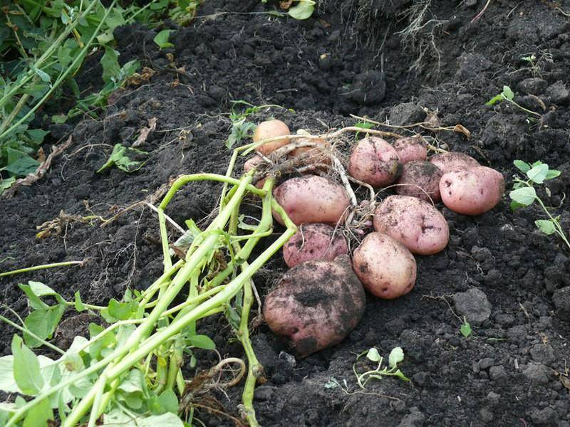 Картофель «романо»: описаине сорта, фото, посадка и уход