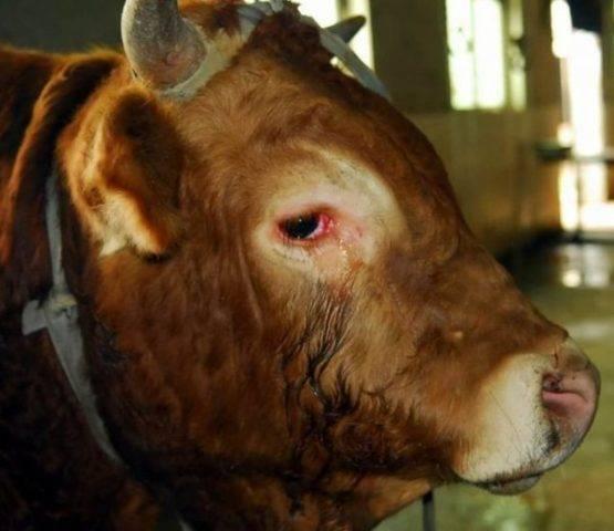 Шишка на челюсти у коровы - ogorod.guru