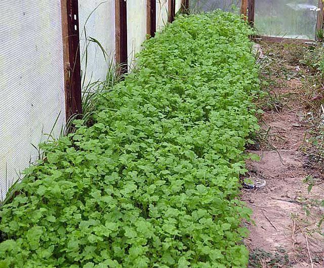 ✅ о посадке сидератов под томаты весной в теплице: что сеять, фацелия, горчица - tehnomir32.ru