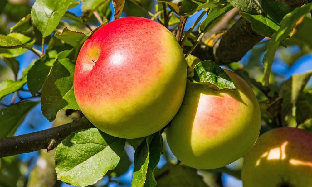 Сортовая характеристика яблони солнцедар - мыдачники