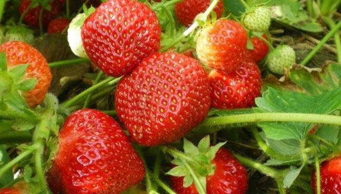 Ремонтантная земляника, клубника – выращивание, уход, размножение