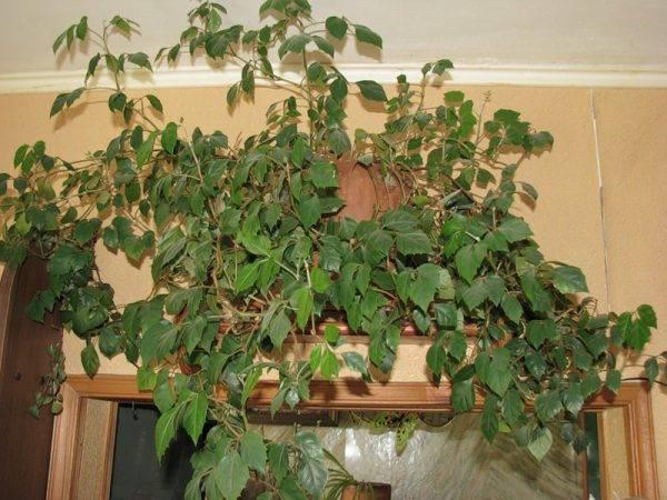 Ампельные комнатные растения с названиями и фото