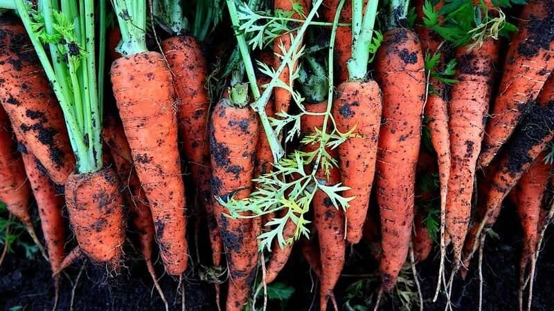 Как хранить морковь в погребе зимой правильно