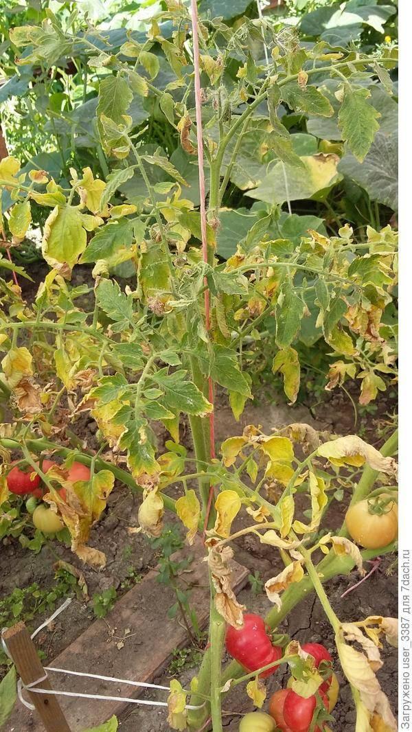 Почему желтеет рассада томатов: основные причины и способы лечения