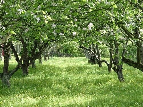 Яблоня не цветет и не плодоносит — принимаем меры