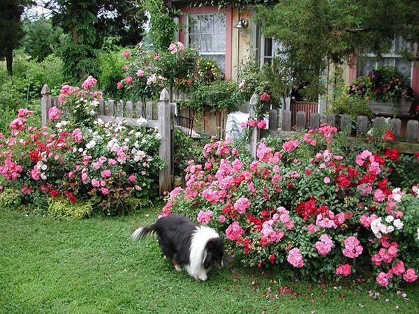 Подкормка роз весной и летом в открытом грунте: чем удобрять во время цветения