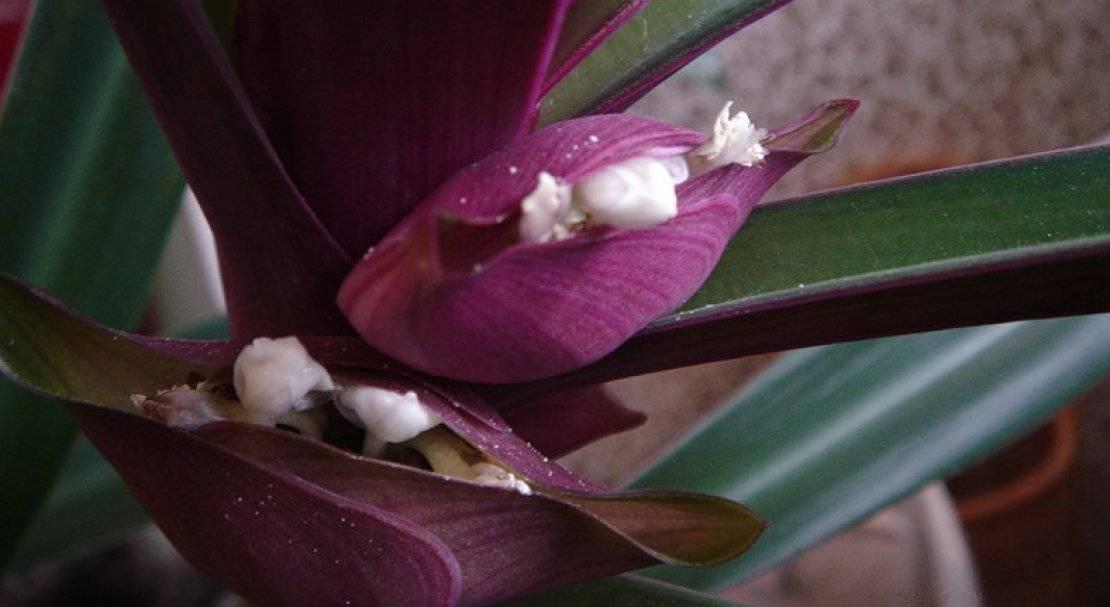 комнатный цветок рео – уход, фото, размножение