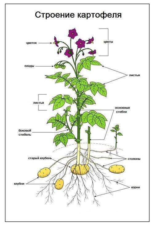 Строение цветка и плода картофеля