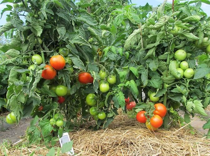 Томат яблонька россии —характеристика и описание сорта, фото, отзывы тех, кто сажал, урожайность
