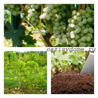 Подкормка винограда осенью и весной: какие удобрения использовать?