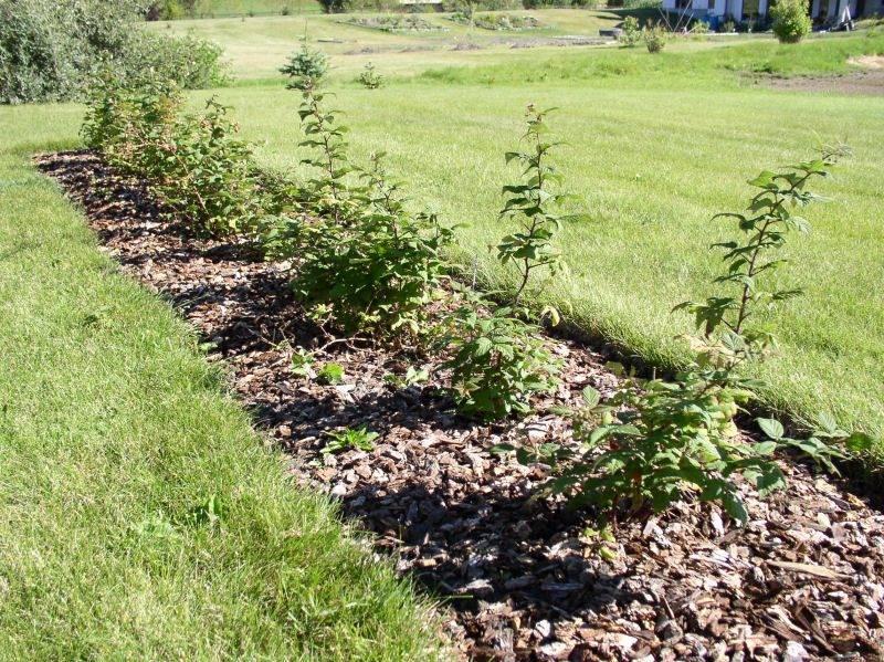Как правильно сажать малину: пошаговая инструкция для начинающих. схема посадки малины. посадка малины: рассматриваем все варианты