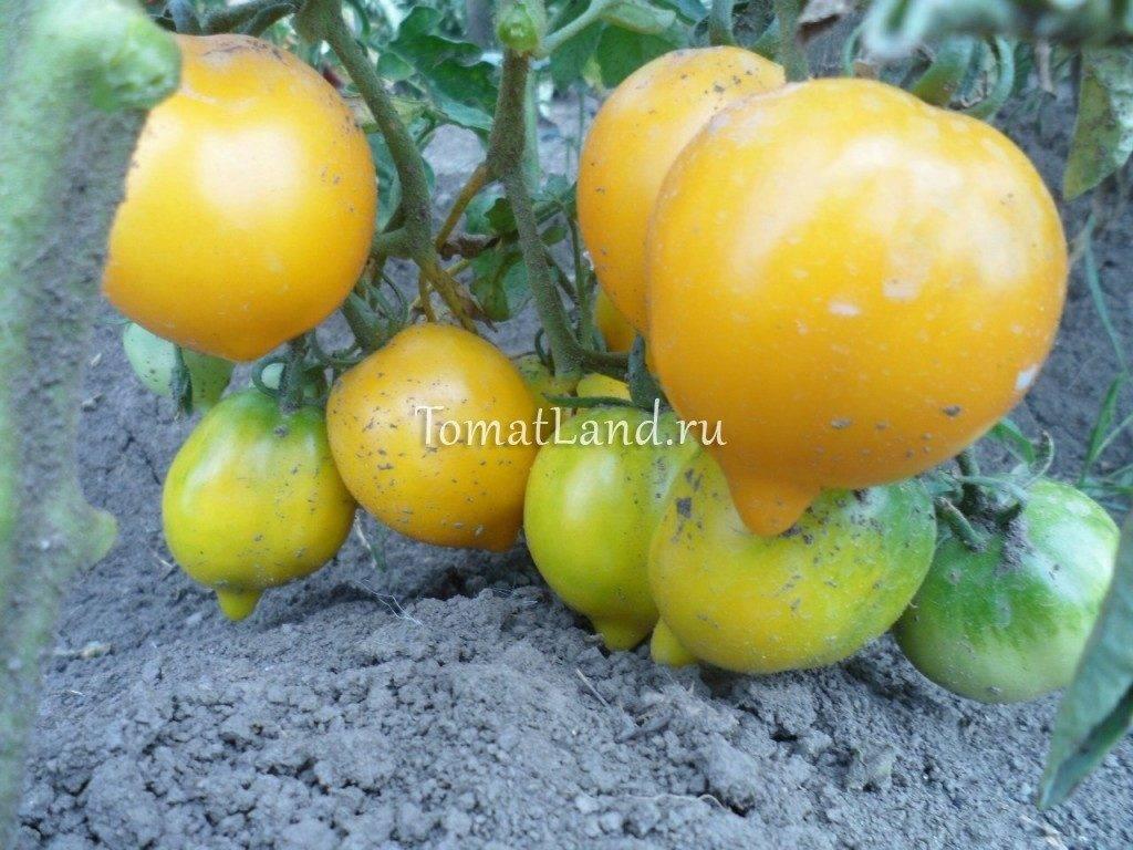 Томат чудо света: описание, отзывы, фото, урожайность | tomatland.ru
