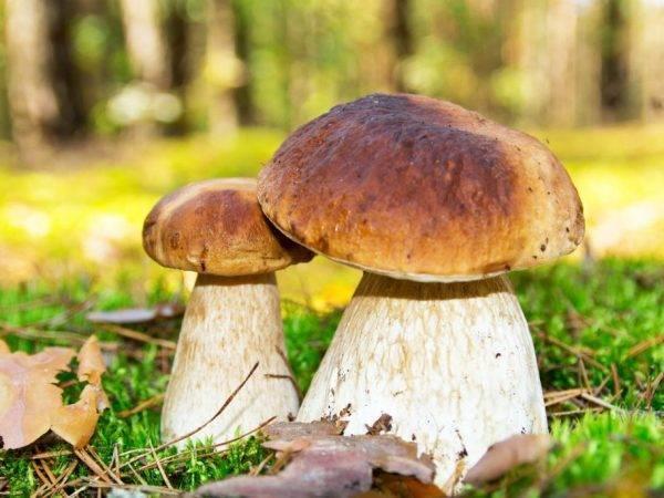Белый гриб (боровик) - польза и вред, описание, фото, где растет.