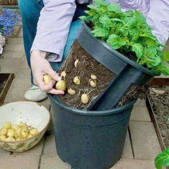 Посадка и выращивание картофеля в мешках: технология пошагово