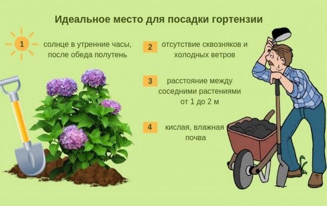 Гортензия садовая — посадка и уход в открытом грунте для новичков