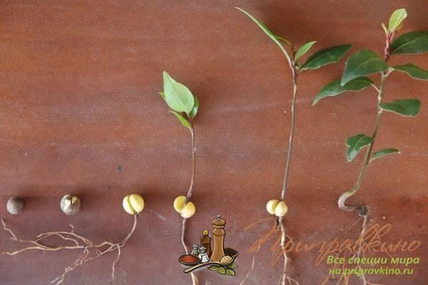 Лавровый лист - выращивание в домашних условиях, размножение, посадка, уход