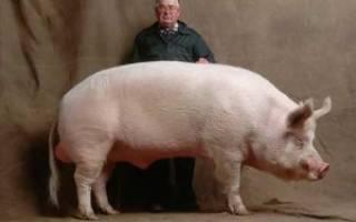Миргородская порода свиней – внешний вид, продуктивность, разведение 2021