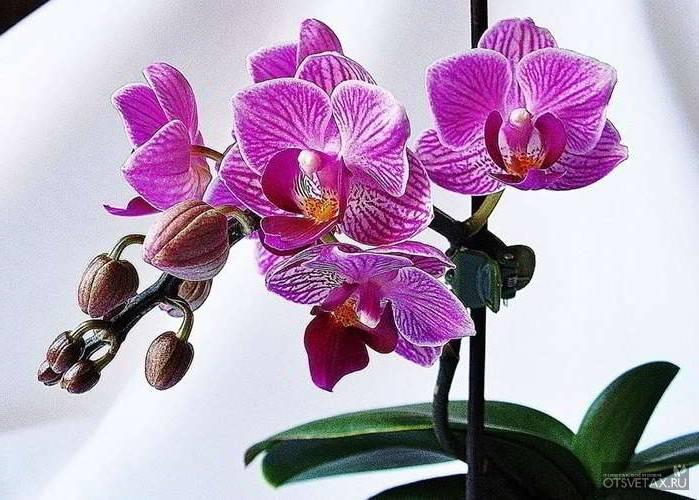 Мини орхидея фаленопсис: особенности ухода, размножение. советы для начинающих цветоводов