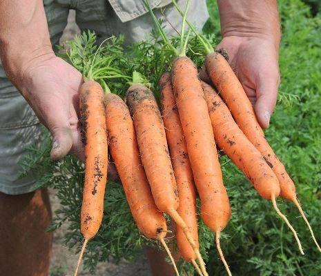 Морковь балтимор f1  (baltimore f1): отзывы, фото, урожайность