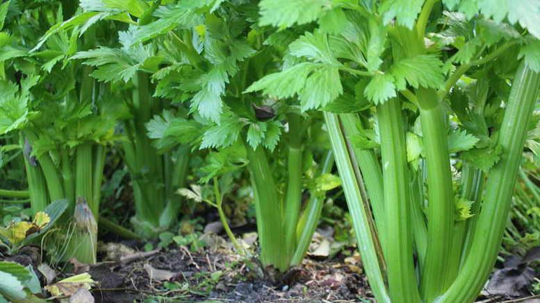 Сельдерей: выращивание из семян, посадка и уход в открытом грунте, фото