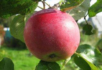 Яблоки мельба: описание сорта, фото, отзывы