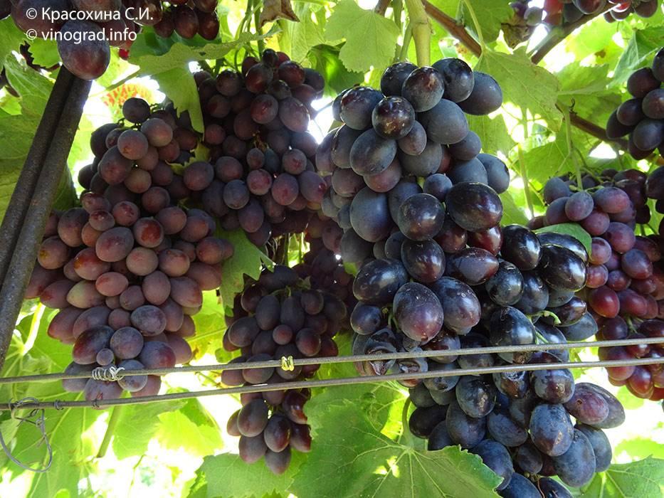 Виноград блек гранд: описание сорта, особенности выращивани